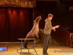 Seelöwen im Circus Krone