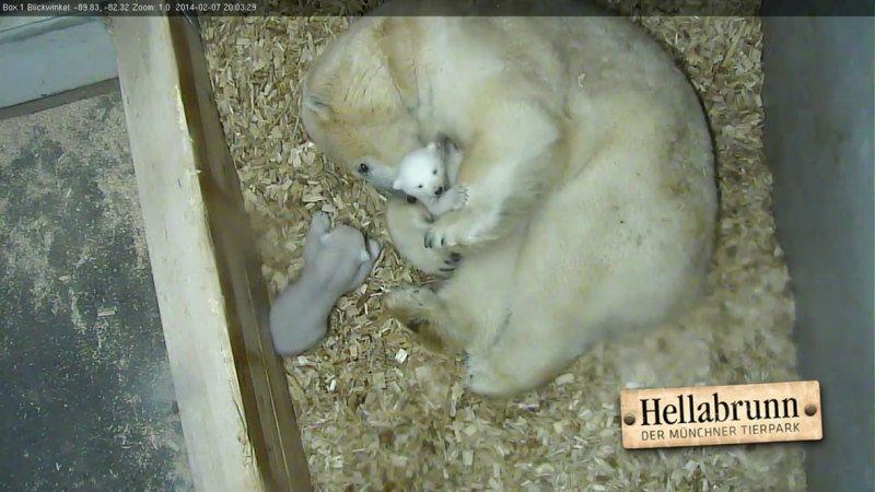 Eisbärenbabys_Tag 60_1.Gehversuche