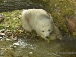 Münchner Eisbärenzwillinge
