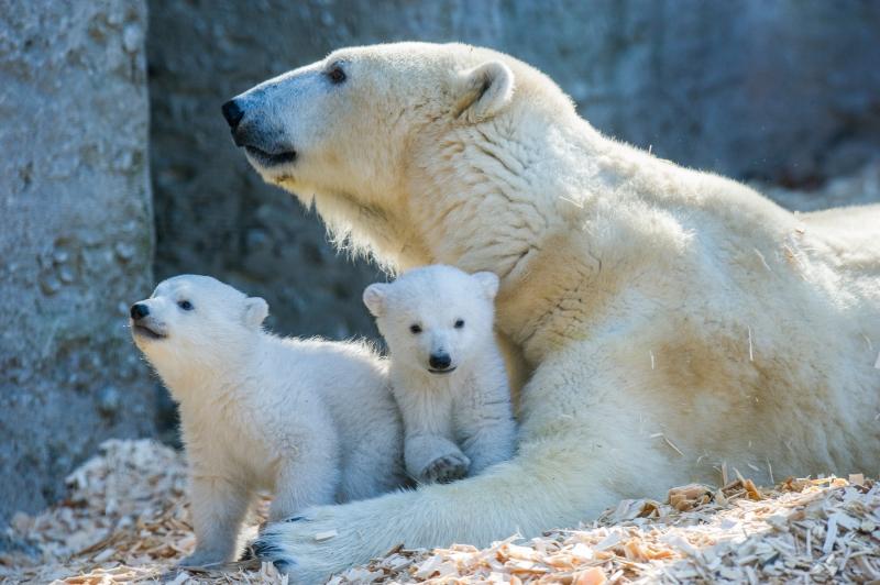 Erste Ausflug der Eisbärenbabys_Hellabrunn_2014