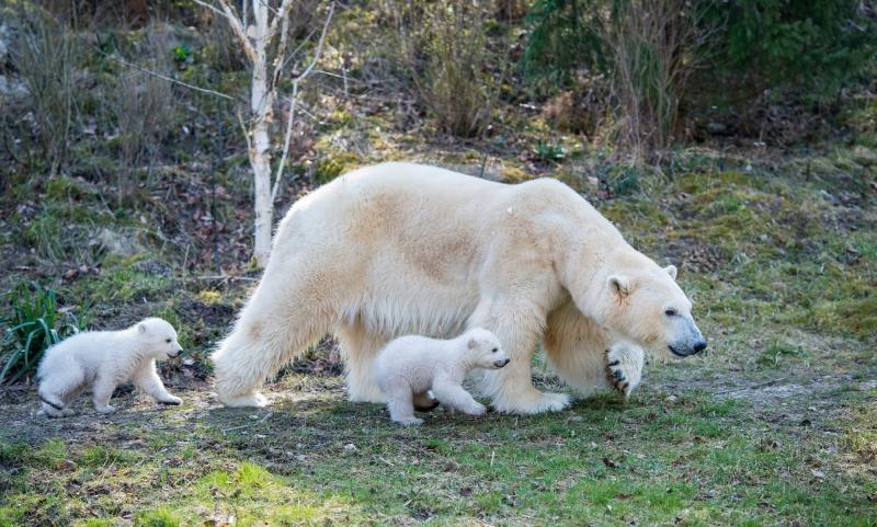 Erste Ausflug der Eisbärenbabys_Hellabrunn_2014_  (1)
