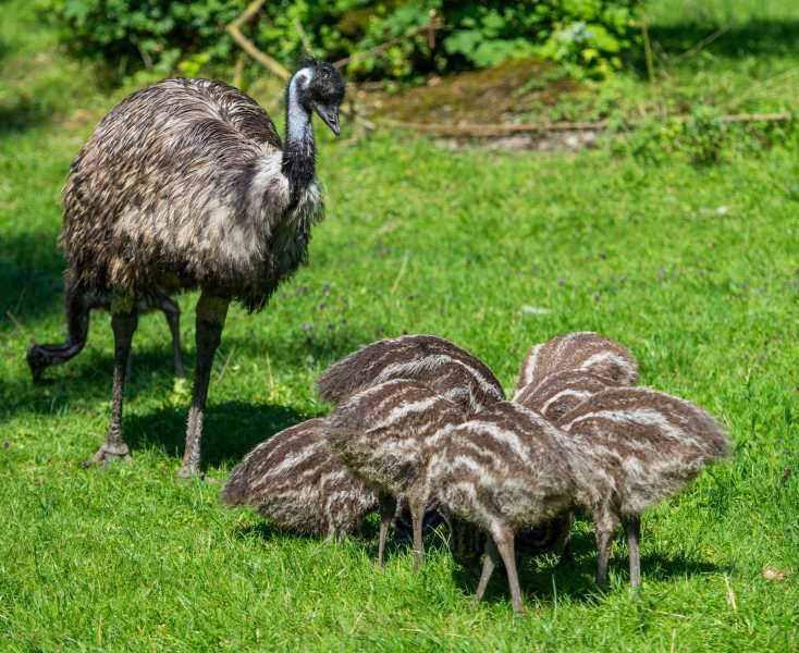 Achtfacher-Emu-Nachwuchs-mit-Emu-Hahn-Kanoro