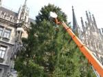 Christbaum für München aus Kochel am See