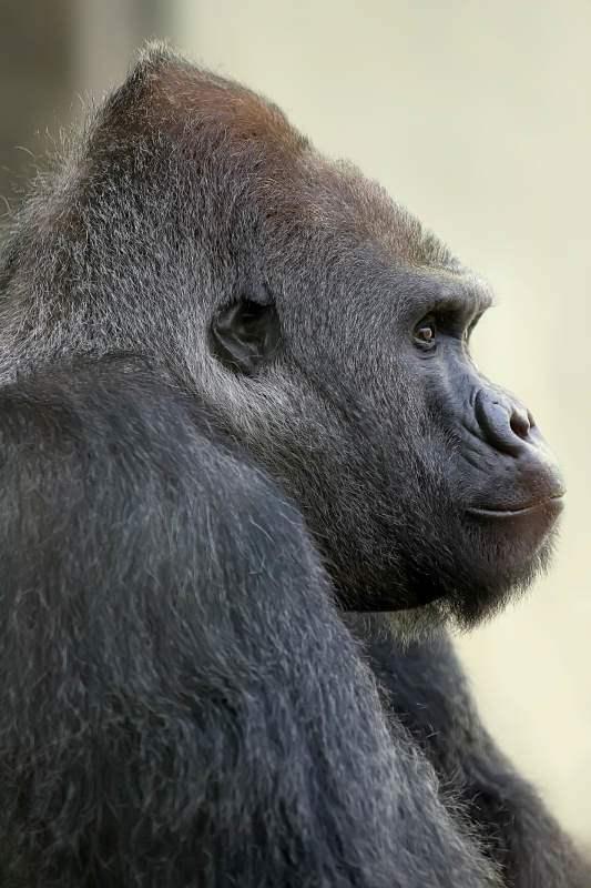 Gorilla_Roututu_Hellabrunn