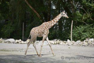 Giraffendame