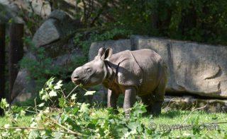 nashorn; nashornbaby; rapti; panzernashornbaby; Tierpark Hellabrunn;