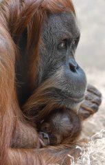 orangutan_nachwuchs_hellabrunn2016_susanne-bihler-1