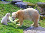 Hellabrunner Eisbären-Baby hat einen Namen: Quintana