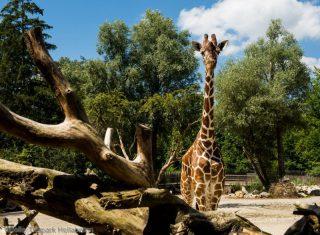 Giraffe Limba_Hellabrunn