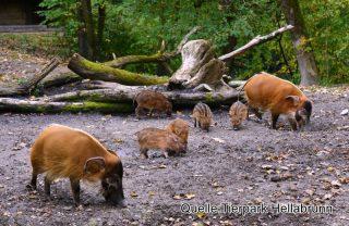Pinselohrschweine_Hellabrunn_2017 (2)