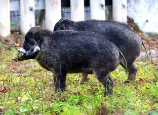 Visayas-Pustelschweine_Hellabrunn
