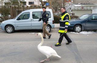 Tier einfangen unverletzt, sonstige Hilfe, Schwan