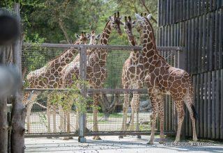 """Ein Giraffen-""""Geschenk"""" für Hellabrunn"""