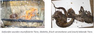 Die Lebenden und die Toten – vernachlässigte Reptilien teilten sich völlig verschmutzte Terrarien mit toten Artgenossen