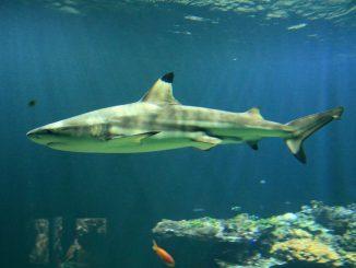 Schwarzspitzen-Riffhai Kurt im Hellabrunner Aquarium verstorben