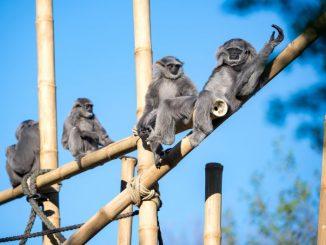 München aus dem Zoo: Neugestaltete Außenanlage für Hellabrunner Silbergibbon-Familie